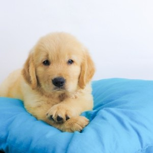 puppy on a pillow