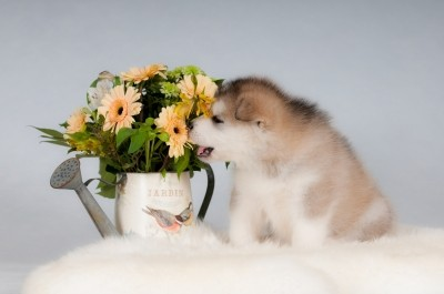 Alaskan malamute puppy sniffing to a bouquet of flowers