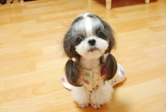 pictures of shih tzu hair styles 1