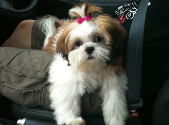 pictures of shih tzu hair styles 3