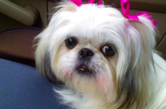 pictures of shih tzu hair styles 4