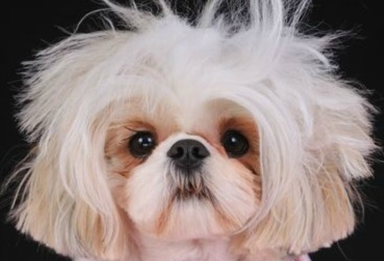 pictures of shih tzu hair styles 5