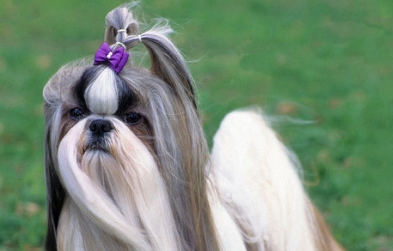 pictures of shih tzu hair styles 7