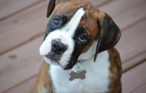 Understanding boxer breed