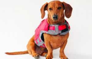 Wondering what is the best life vest for dachshund? Read this