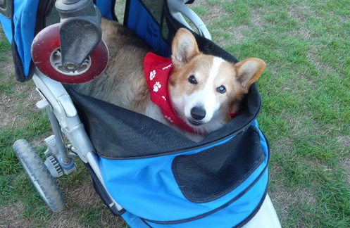 Dog stroller for Corgi
