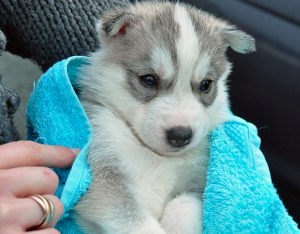 Here is the best shampoo for siberian husky puppy
