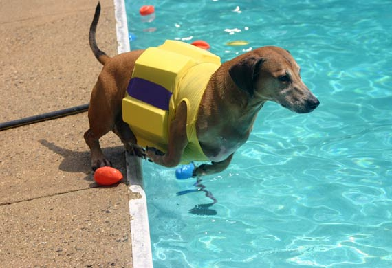 dachshund-swimming-pool