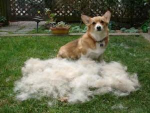 Here is the best dog brush for Corgi