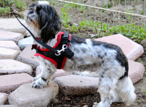 What is the best harness for Shih Tzu? My top picks
