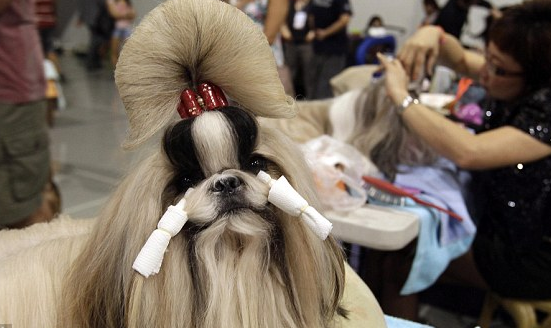 pictures of shih tzu hair styles 6