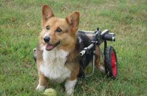 Best wheelchair for Corgi