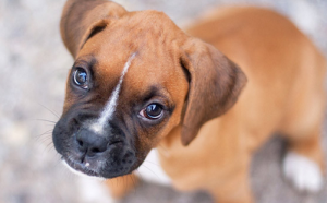 Best dog products for Boxer