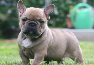 7 French bulldog training tips you need to know