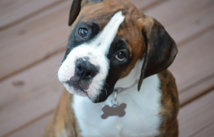 Understanding boxer breed – history, temperament, health and more