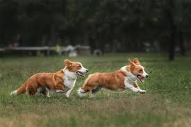 Dog Breed Info Corgi