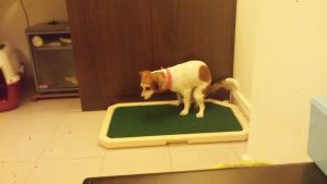 How to Potty Train Your Puppy with Training Spray and a Training Pad